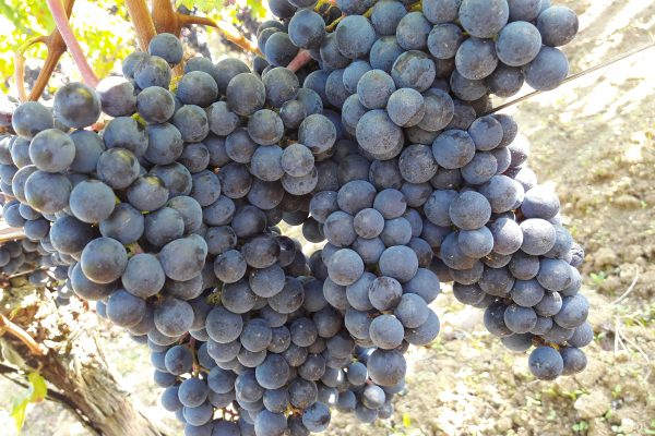 vendanges 2017 SANSONNET